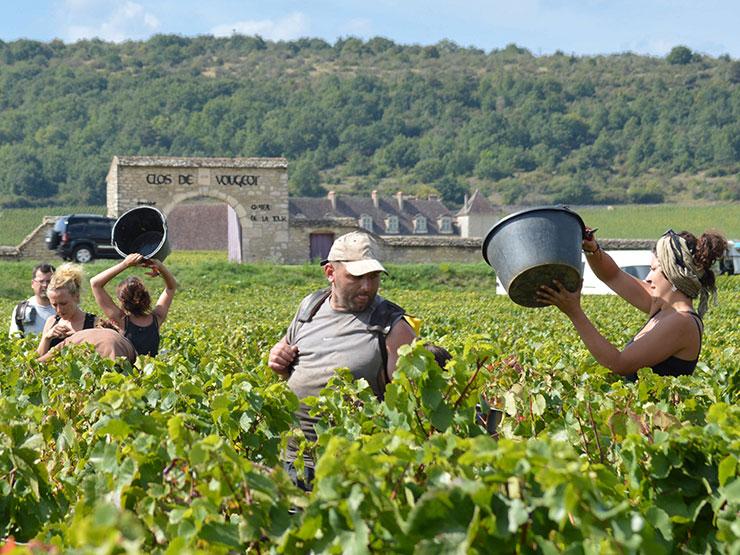 Vendangez en Bourgogne